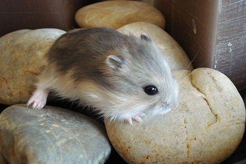 Sleeping baby   Hamsters   Hamster habitat, Syrian hamster ...  Cute Baby Hamsters Sleeping