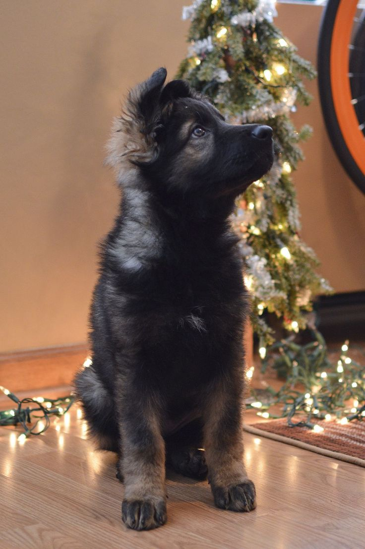The merriest of Christmas gifts--The German Shepherd Puppy