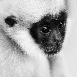 Help ensure a future for endangered spider monkeys in Central America.