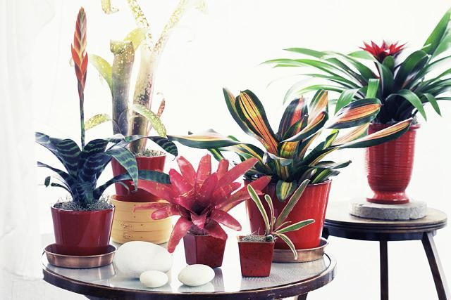 How to Grow Bromeliads at Home http://houseplants.about.com/od/bromeliads/a/Bromeliads.htm