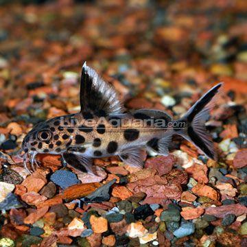 70 synodontis multipunctatus catfish leopard like pattern for Inverted fish tank