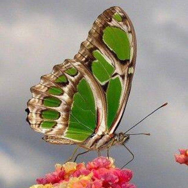 """""""Emerald queen"""""""