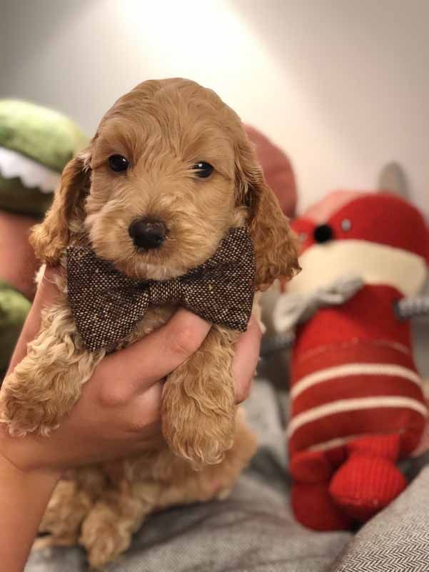 Teacup Labradoodle Mini Labradoodle Puppies For Sale Black Reds Labradoodle Puppies For Sale Labradoodle Puppy Mini Labradoodle Puppy