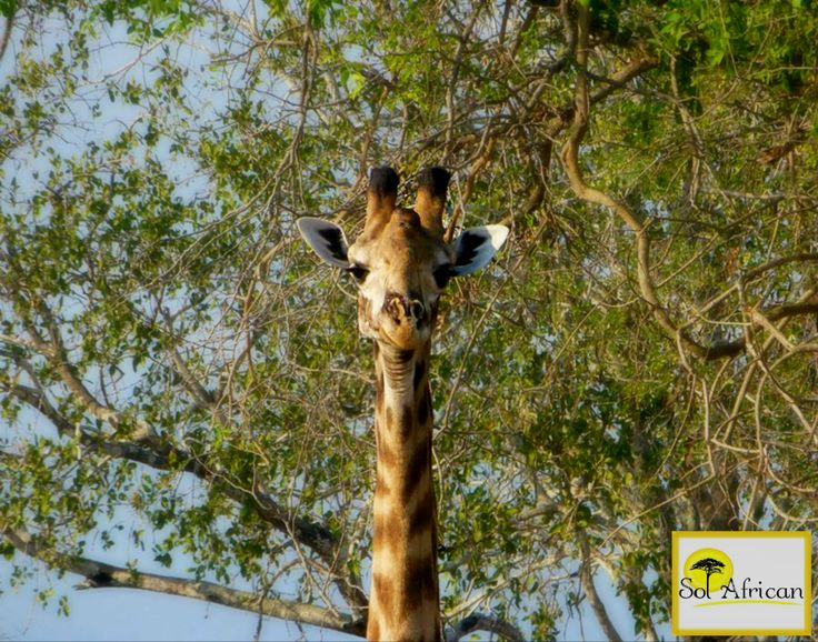 Condescending giraffe! #giraffe #Africa #SouthAfrica #adventure #explore #discover #holiday #travel #holidaydestination #idealholiday #fun #wild #wilderness #safari #tour #tourism #tourist #tourismagency #exotic