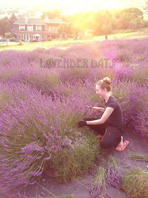 Lavender Days a summer lavender festival hosted by the Lavender Apple Farm in Logan Utah!