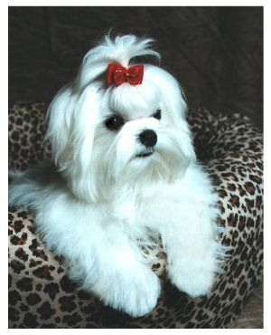 Puppy Cut Pictures - Maltese Dogs Forum : Spoiled Maltese Forums