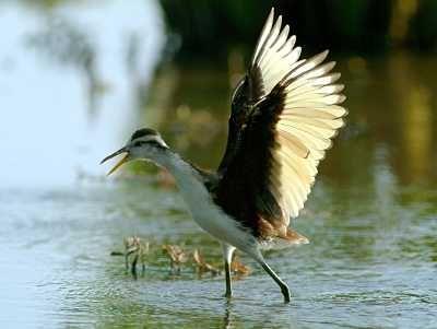 Avistamiento de Aves – Doñana Norte – Huelva: En Doñana entre cultivos de arroz, humedales, bosques, matorrales y estepas, observa una gran diversidad de aves con más de 350 especies visibles a lo largo del año. Garcetas, garcillas, garzas y todos tipos de ardeidaes, variedad de rapaces, limícolas, patos, fumareles y charranes, aves esteparias, cigüeñas blancas y negras, paseriformes de todos los colores…  Diversidad impresionante y observaciones de alta calidad!  Grupos de garzas y otros…