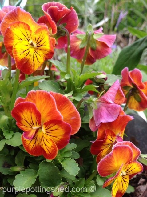 Such a great mix of colour in this pansy!  www.purplepottingshed.com