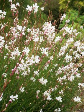 "Gaura 'Whirling Butterflies', 36-42"" (Plant 20"" apart), Blooms Early Summer to Early Fall, Full Sun to Mostly Sunny, good in dry/hot place"
