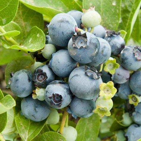 Gupton Southern Highbush Blueberry $15.00