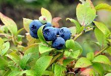 Amerikanske Blåbær 'Blue Crop' / Vaccinium corymbosum 'Blue Crop' COC / Frugttræer & Frugtbuske