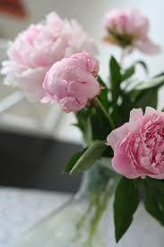 rosa pioner - Google Search