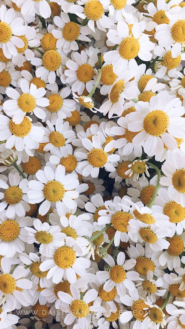 Frühling Gänseblümchen Wallpaper für Handy