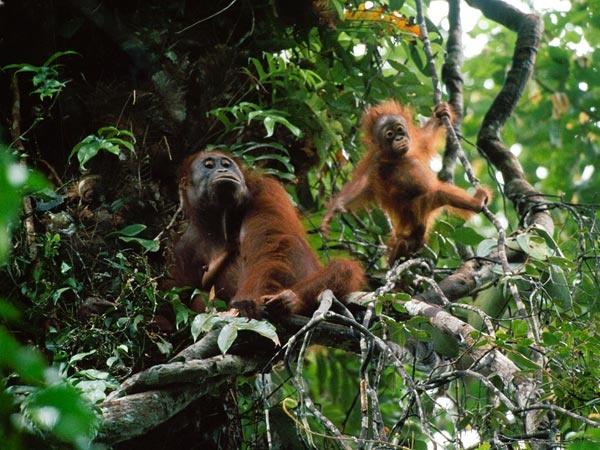 Orangutans in the forest of Bukit Batikap