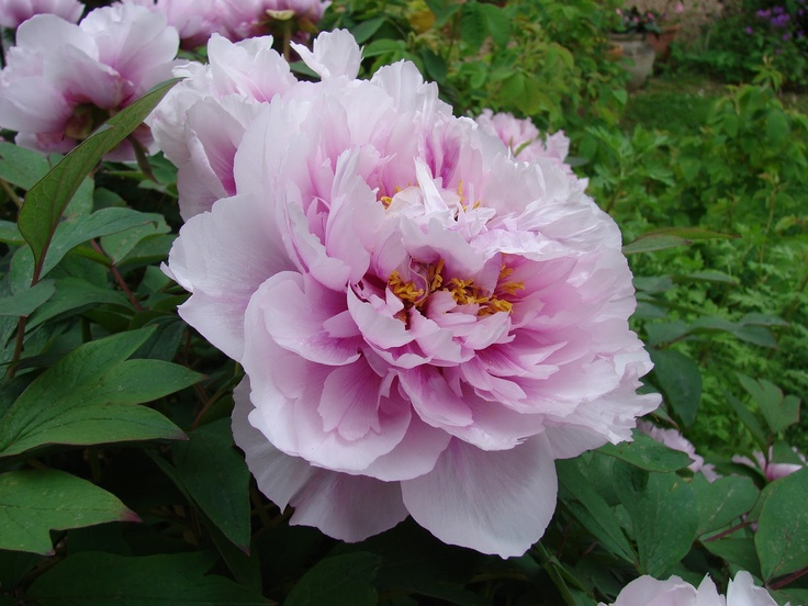 peonies a collection of gardening ideas to try alexander fleming moon river and peonies garden. Black Bedroom Furniture Sets. Home Design Ideas