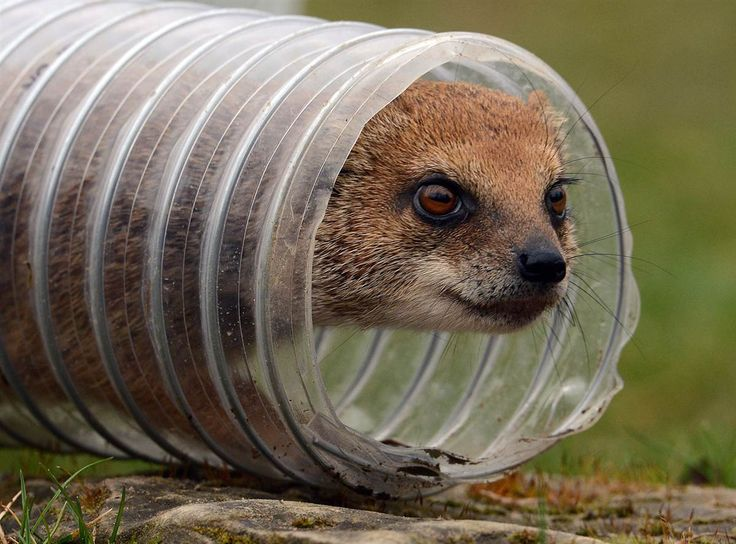 A mongoose peers out of a tube at the zoo in Hanover, Germany on April 6.