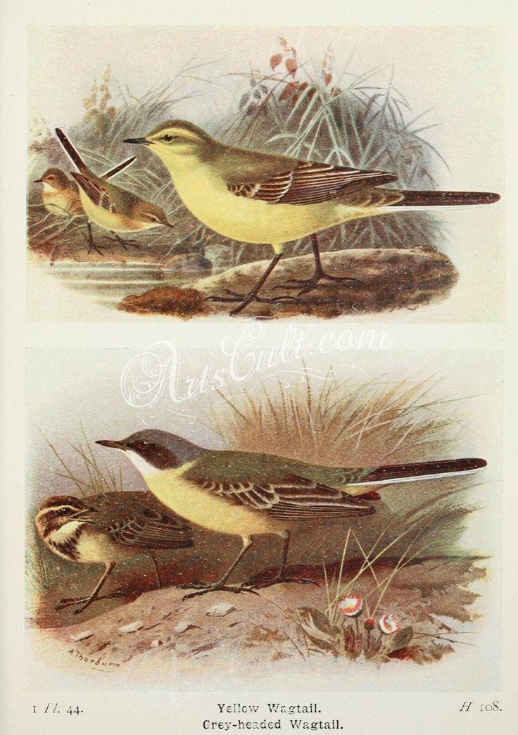 Yellow Wagtail, Grey-headed Wagtail      ...