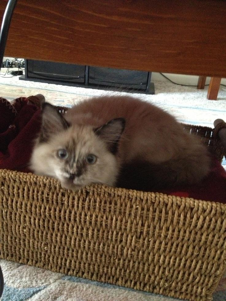 purebred cat rescue wi