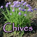 Chives, Allium schoenoprasum | The Wisconsin Master Gardener Program