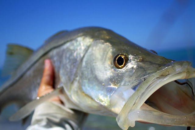 Mejores 9 imágenes de snook en Pinterest | Pesca, Htm y Peces de ...