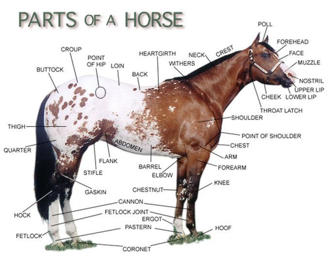 What Are Names Parts Horse Body Parts
