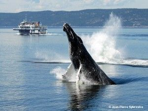 Saut de baleine Tadoussac