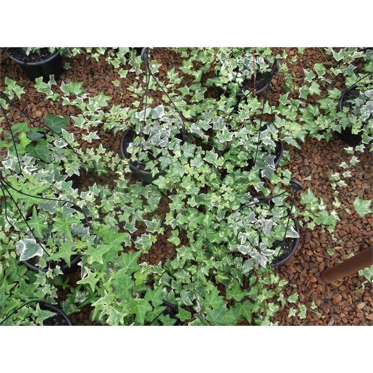 180mm Hedera Ivy