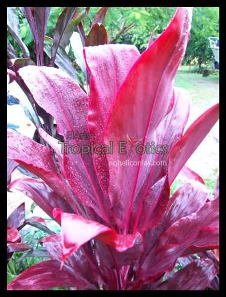 Cordyline Lillinoe. Grows 2m. One of the best landscaping cordylines for a full sun position. Lilinoe has become even more popular than Peter Buck for landscaping in Hawaii. Maintains it's deep pink color year round. Similar to firebrand but a superior landscaping plant.