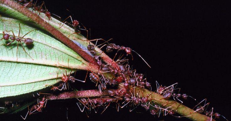 Como matar a rainha das formigas-capinteiras. As formigas carpinteiras podem ser um grande problema em casas e jardins. Elas podem mastigar a madeira e se tornar um incômodo. Não é eficaz simplesmente matar algumas delas com inseticida. Para eliminar um ninho de formigas, você precisa matar a rainha dele. Quando ela estiver morta, o ninho morrerá rapidamente, pois as larvas só podem ser ...