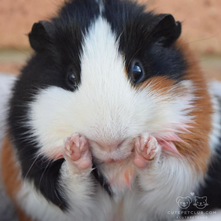"""""""No I don't need a bath! See! I'm cleaning myself."""" #guineapig"""