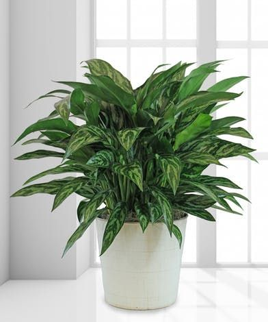 Tigress Chinese Evergreen Plant Wishlist Plants Indoor