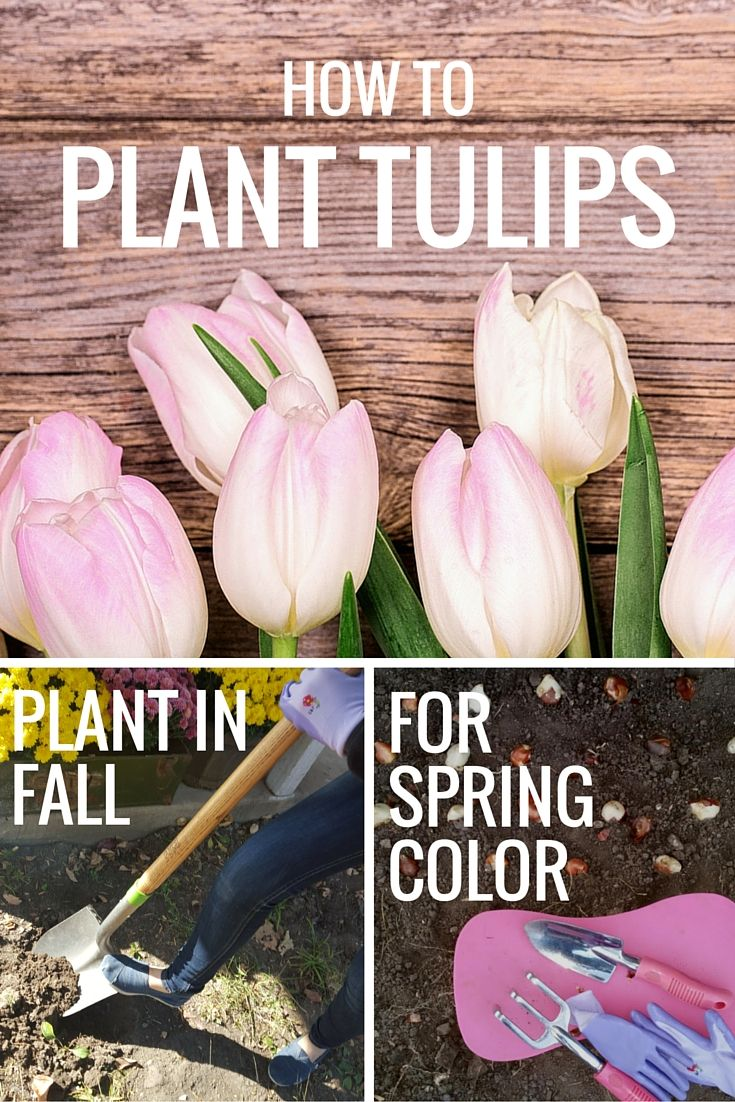 how to plant tulips in the fall