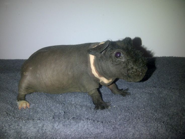 Best Baby Pos Images On Pinterest Skinny Pig Guinea Pigs - Ludwig the bald guinea pig is winning the internets hearts