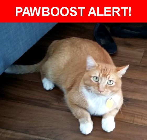 Please spread the word! Pumpkin was last seen in Las Vegas, NV 89169.  Description: Neutered, has a small patch of black/brownish fur on front left leg  Nearest Address: 3501 South Maryland Parkway, Las Vegas, NV, United States