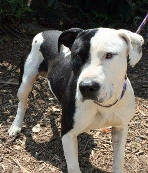 Booker: Pit mix beauty available August 6 for rescue or foster at SC shelter