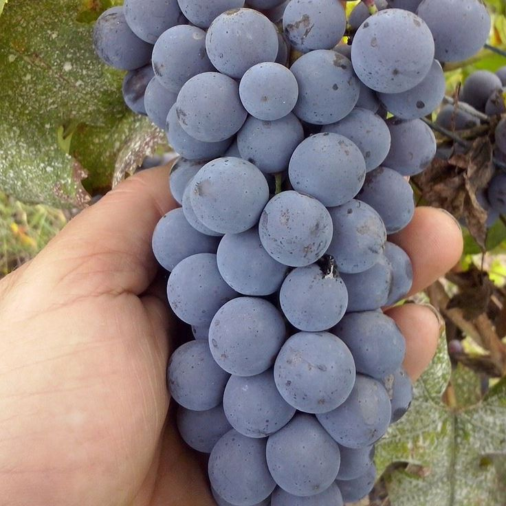 The grapes of nebbiolo
