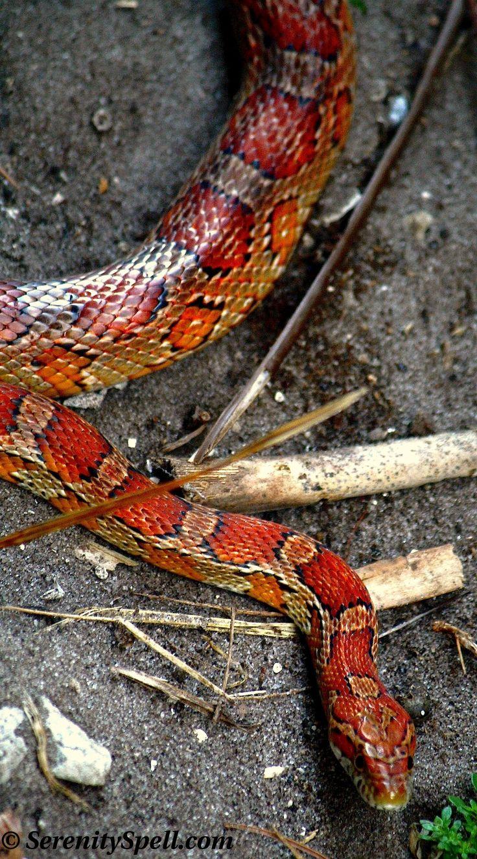 Corn Snake, or Red Rat Snake, Florida Wetlands