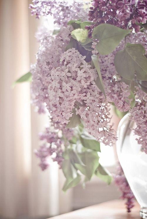 lavender colored lilacs