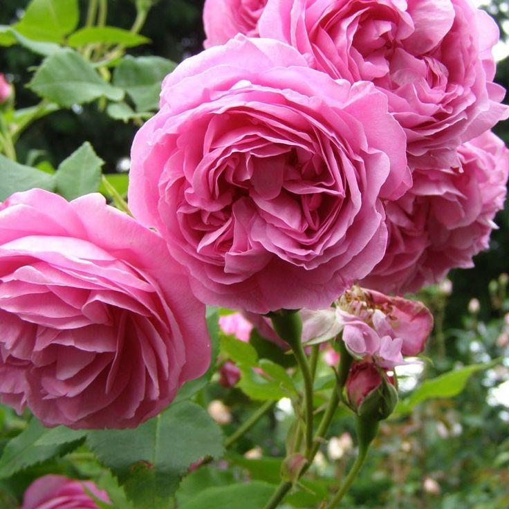 157 best antique and old fashion roses images on pinterest. Black Bedroom Furniture Sets. Home Design Ideas