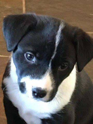 Check out Wren Adoption Pending's profile on AllPaws.com and help her get adopted! Wren Adoption Pending is an adorable Dog that needs a new home. https://www.allpaws.com/adopt-a-dog/border-collie-mix-cattle-dog/6002854?social_ref=pinterest