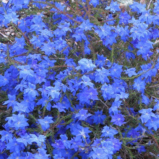 Lechenaultia biloba #pretty #botanical #flower #blue