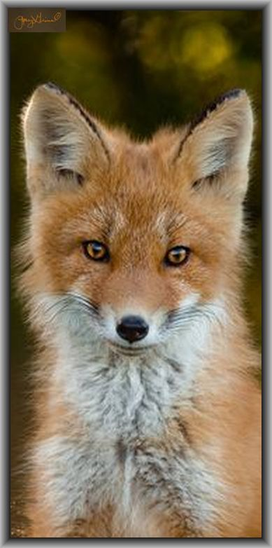 cute young Fox  #photo by Jenny on flickr.com