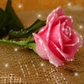 Mawar Pink Untuk Pacar FeminimMawar Pink Untuk Pacar Feminim