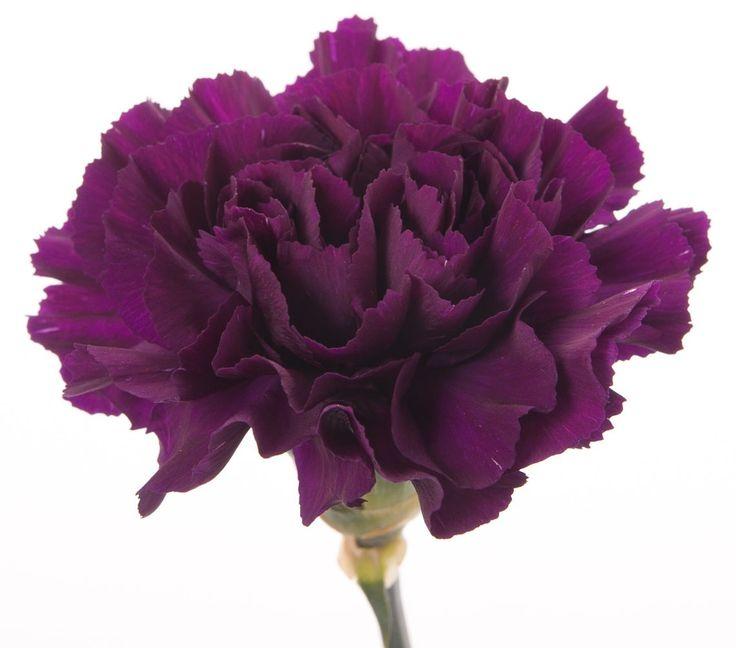 Dianthus - ... - Nellik - Mørk lilla