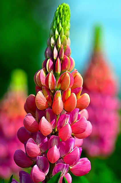Lupin by OttawaBased on Flickr.