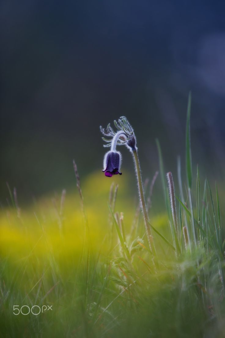 """Night is coming - Pulsatilla Pratensis Pasque Flower is a perennial herb with a basal with hairy leaves. Due to changes in natural conditions, there is a loss of individual species in the nature, because of that are Pulsatillas protected.  Shot from my series """"Spring Pasque Flowers"""""""