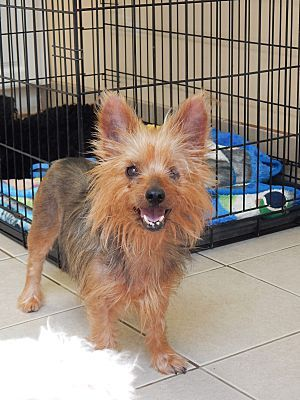 Long Beach, NY Yorkie, Yorkshire Terrier. Meet Rosie a