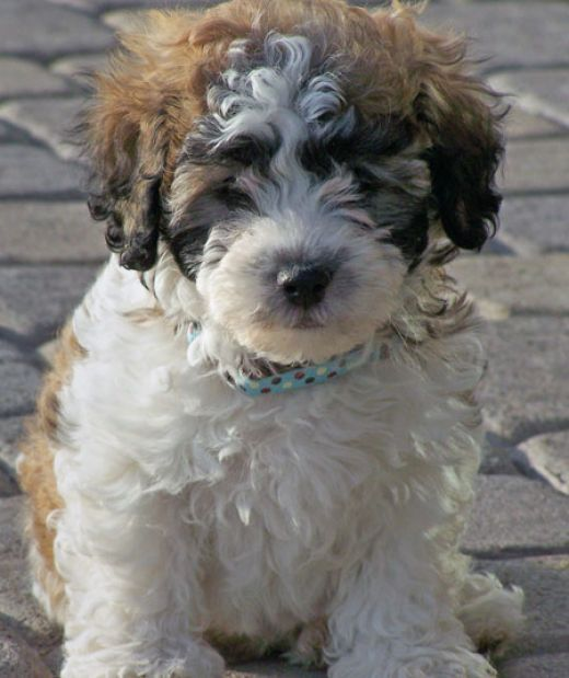 Cute Pictures Of Puppies 1. Picture Of PuppiesCute PicturesColorHavanese ...