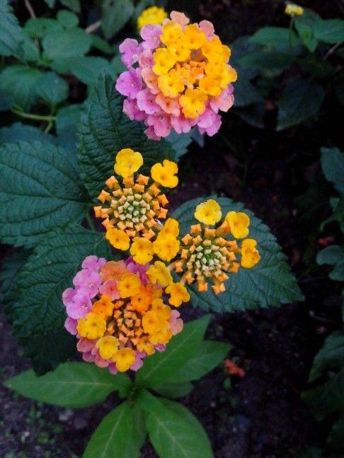 Four pink lantana camara flowers