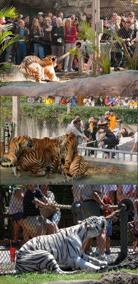 Tug of war with a tiger anyone?